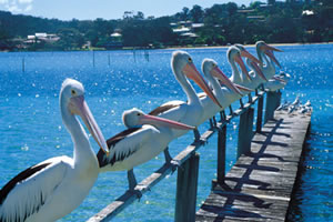 Pelicans at Merimbula lake